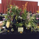 South West Orchid Society display