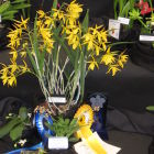 Best Laelinniae, Best Hybrid in Show and CCC-RHS awarded<br />Brassanthe Ria Meyer &#039;Willand&#039;<br />Sue Lane (DOS)