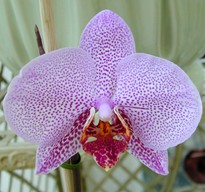 Phalaenopsis Double Delight
